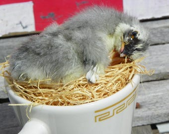 Taxidermy Blue Splash Sumatra Chick in Small Tea Cup. Gabriela.