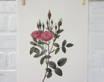 Redoutes Roses Book Page Plate Botanical Wall Art Burgundy Rosa Pomponiana muscosa Rose