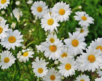 Pre-Order For May 2018, Organic, 6 Live Plants, Wild Daisy