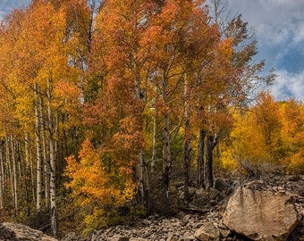Aspens in The Rocks