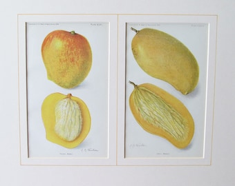 Mangoes! Gorgeous Luscious Chromolithographs, 1908/1910, Acid-Free Matting, Mount, Ready to Frame, Perfect for Kitchen/Dining Area