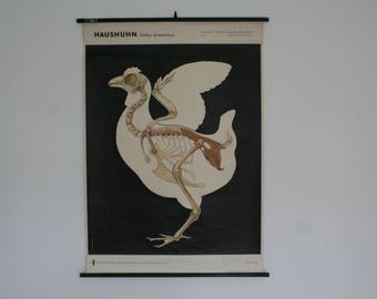 Vintage. Pull down chart. Mid Century. Educational. German DDR. Biology. School. Science. Poster. Canvas. Chicken (415)