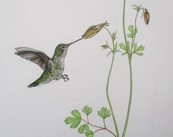 Anna's Hummingbird with Columbine Original Pen & Ink Drawing