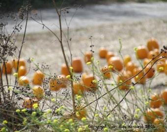 Pumpkin Festival, Half Moon Bay Fine Art Photography