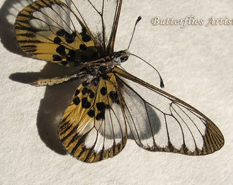 Real Glasswing African Acraea Butterfly Framed In Museum Quality Shadowbox