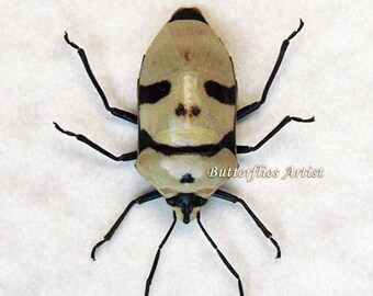 Smile Man Face Real Bug Eucorysses grandis Framed In Museum Quality Shadowbox