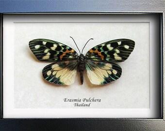 Metalic Green Erasmia Pulchera Real Day Flying Moths In Shadowbox
