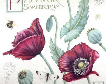 "Poppy print | Opium Poppy | Botanical art | 7"" x 7"" |  Print of watercolour painting | Papaver somniferum | Poppy flowers and seedheads"