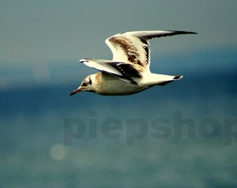 Flying Seagull - flying Seagull - photography inkjet printing photo card 10 x 15 cm
