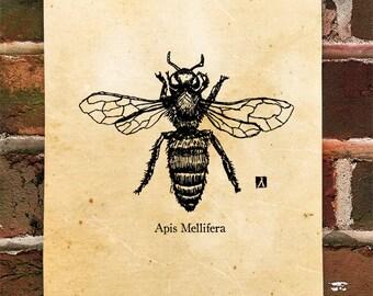 KillerBeeMoto: Limited Release Apis Mellifera Honey Bee Pen Sketch Print
