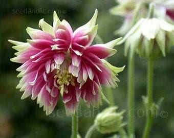 Columbine Nora Barlow * Double Pink Blooms!! 25 Seeds