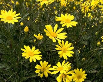 """4 'Bush Daisy'  Euryops UNROOTED 4-8"""" Cuttings Bush/shrub easy to root"""