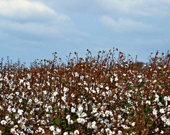 Instant Digital Download Cotton Field - Nature Photography- Wallpaper or Background - Printable