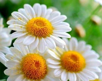 Chamomile organic seeds 1.50gr 19000 - 20000 seeds