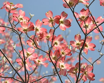 Flowering Pink Dogwood Blossoms photography, Dogwood Flower art, Dogwood in bloom picture