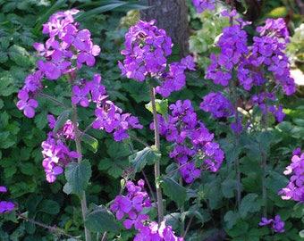 Lunaria Annua, Honesty Seeds, Money Plant Seeds