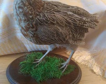 Juvenille Taxidermy English Hen Pheasant