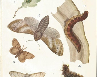 1909 butterfly and moth print  antique print vintage wall decor