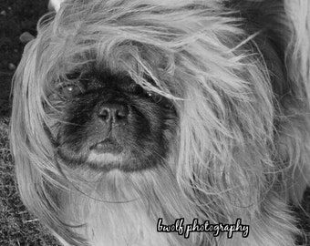 8x10 black and white of mill rescue Sissy.