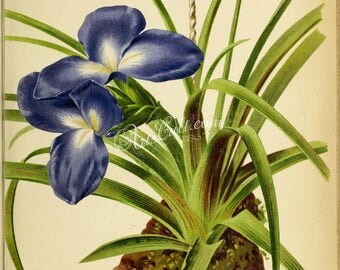 flowers-28704 - tillandsia umbellata Ecuador natural subtropical tropical flower plant botanical tilandsia blue color printable picture jpg