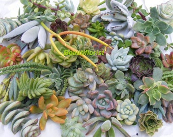 35/50 Assorted Succulent Cuttings
