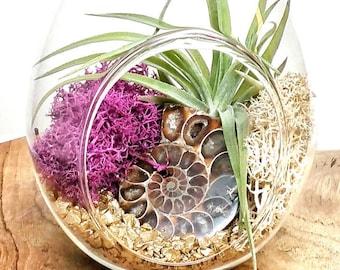 DIY Ammonite Crystal Air Plant Terrarium Kit ~ Includes 7.5 Clear Glass Hanging Terrarium, ...