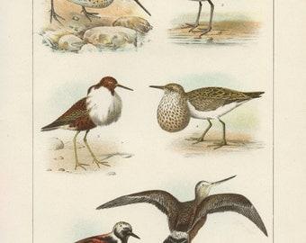 Vintage 1907 Book Plate — Shore Birds