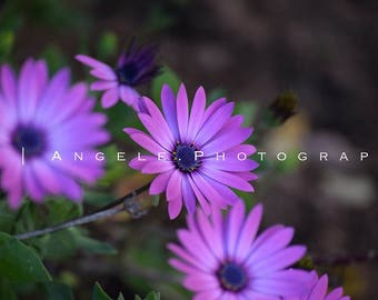 Photography Prints - Purple Daisies