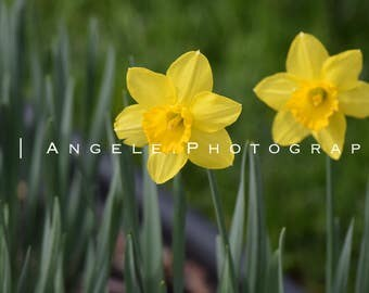 Photography Prints - Yellow Daffodils