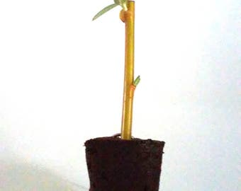TreesAgain Weeping Willow - Salix babylonica - starter plug