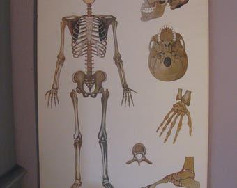 Vintage school chart - Pull Down Chart - Schulwandkarte - Human Skeleton / menschliches Skelett / Knochenbau (Homo Sapiens)  - Bochum