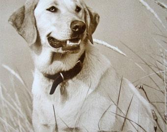 Vintage labrador photo postcard, Vintage retriever photo postcard, Yellow retriever photo, Yellow labrador postcard, Vintage dog photo