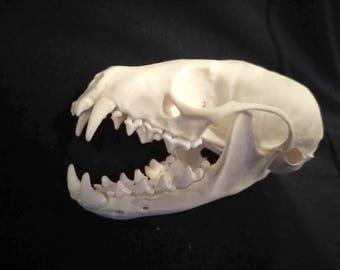 Pine Marten Skull - real museum quality skull, Grade A+, martes americana - #MSK528