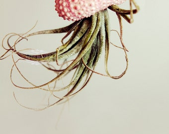 SEA URCHIN SHELLS - Classic Pink White - for Jellyfish Airplants