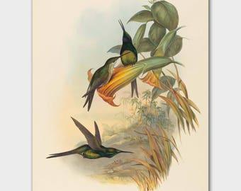 "Hummingbird Print, Bird Illustration (Antique Cottage Wall Decor, Vintage John Gould Bird Artwork) -- ""Empress"""