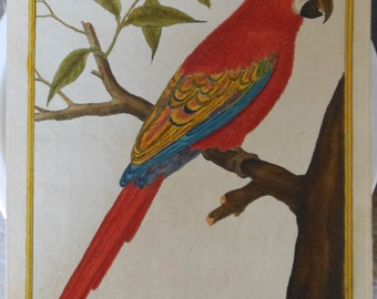 vintage martinet colored bird etching scarlet macaw Ara Rouge