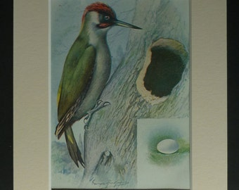 1950s Vintage Green Woodpecker Print, Ornithology Decor, Available Framed, Bird Art, Garden Nature Picture, Old British Wildlife Wall Art