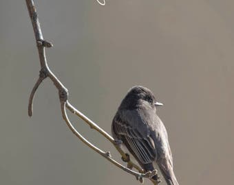 Black Phoebe Photo, Black bird Photo, Bird Photography