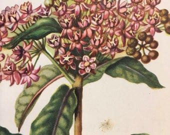 Swamp Milkweed, antique botanical litho print, 1954