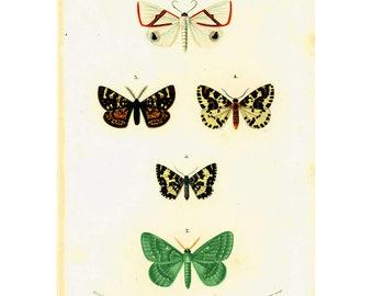 1861 Phalaena, Geometer moth Butterflies, Original Print, by Ch. d'Orbigny, Entomology Antique Print Lepidoptera Natural History Fine Art