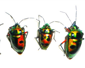 Supplies for your artworks - real insects - : Set of  15pcs Scutellerinae ssp Mindanao , hemiptera , unmounted A1 quality , FREE SHIPPING