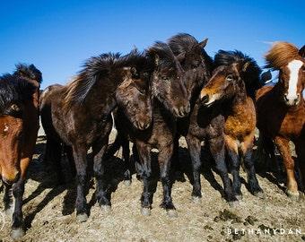 Icelandic Horses #2 11x14 Matted Print
