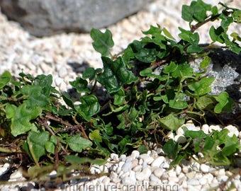 Ficus pumila, Quercifolia minima, Tiny Oak Leaf Creeping Fig for Miniature Garden, Fairy Garden