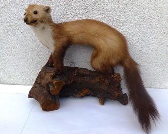 Taxidermy Marten