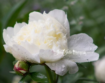 peony wall art peony print peony photo peony photography religious print home decor white floral print spring fine art photograph