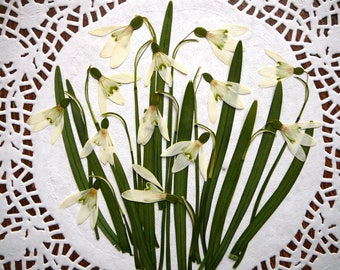 Dried pressed flowers, real dried snowdrop flowers