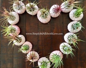 Set of 3 - Sea Urchin Planter with Ionantha Air Plants, Airplants