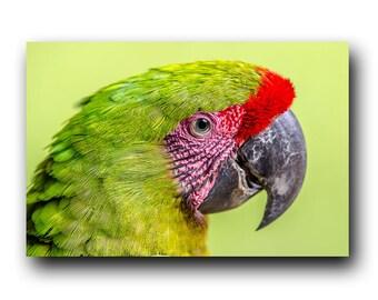 Parrot Print, Parrot Photo, Macaw Print, Macaw Photo, Parrot, Bird Portrait, Bird Picture, Bird Photography, Bird Art, Bird Print, Wild Bird