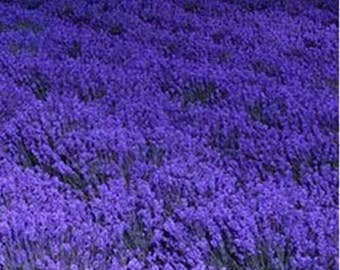 French Provence Lavender Seeds Potted Plant Seeds Very Fragrant 100 Seeds