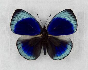 LePrieur's Glory, Asterope leprieuri leprieuri - real framed butterfly No. 357